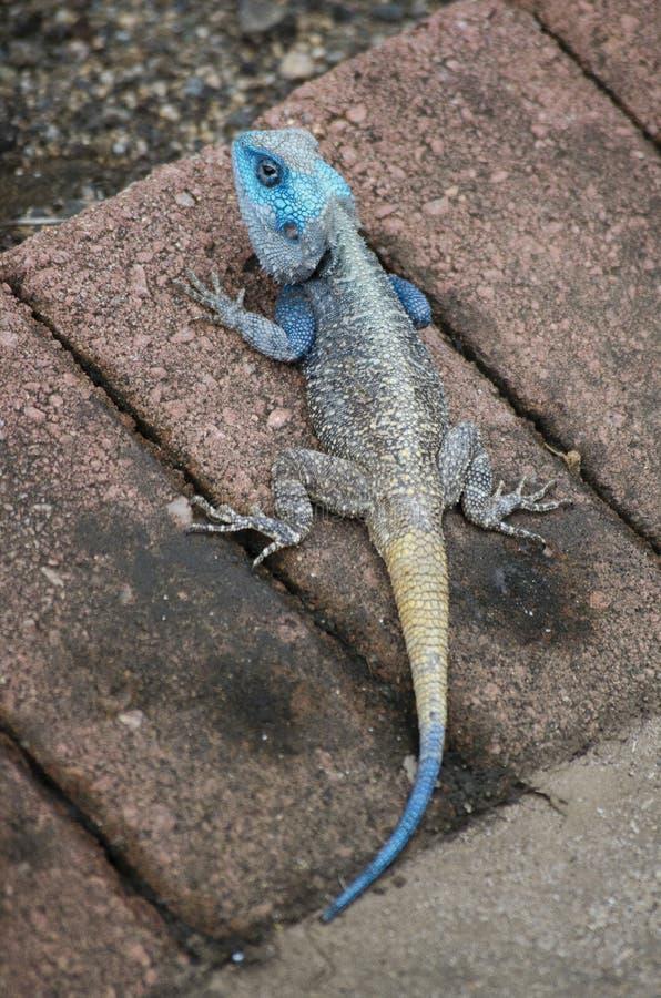 Blue headed Agama (koggelmander) royalty free stock photos