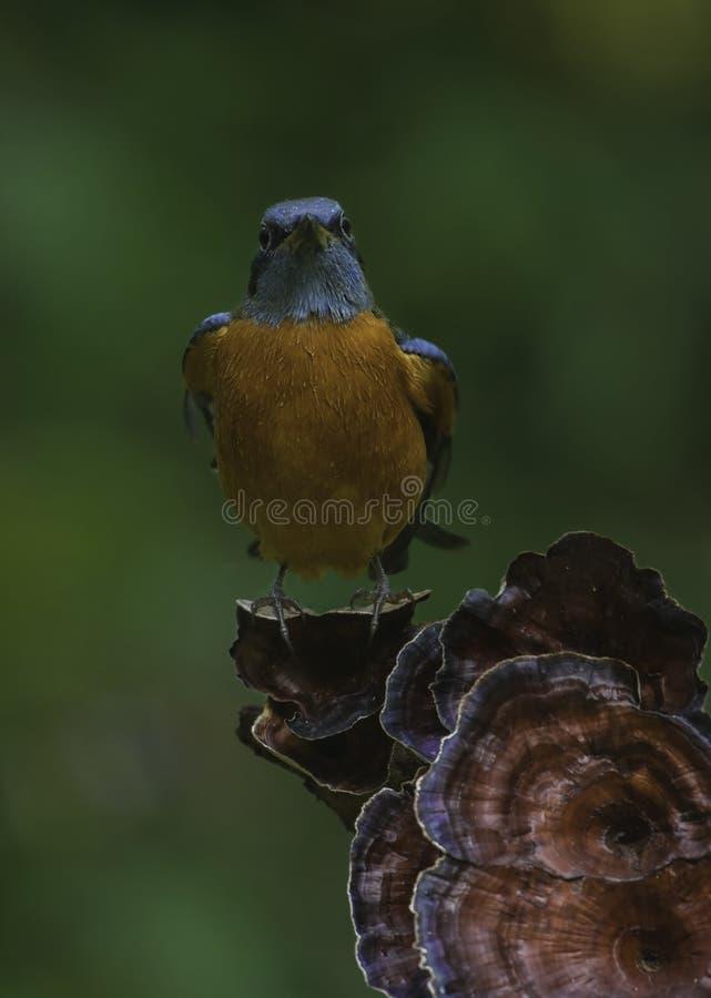 Blue Headed Rock Thrush bird stock photo