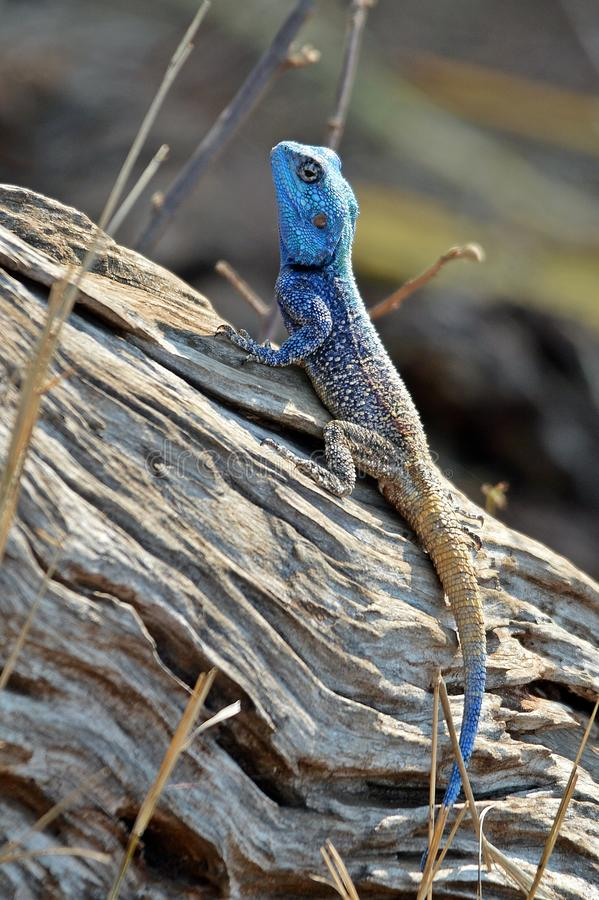 Blue Headed Tree Agama - Agama Atricollis royalty free stock photos