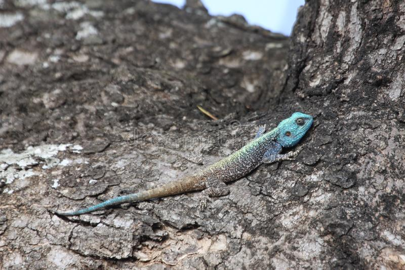 Blue-Headed Tree Agama sunbathing in a tree stock images