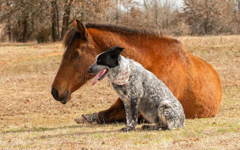 Blue Heeler cross dog sitting next to her sleeping Arabian horse friend stock photos