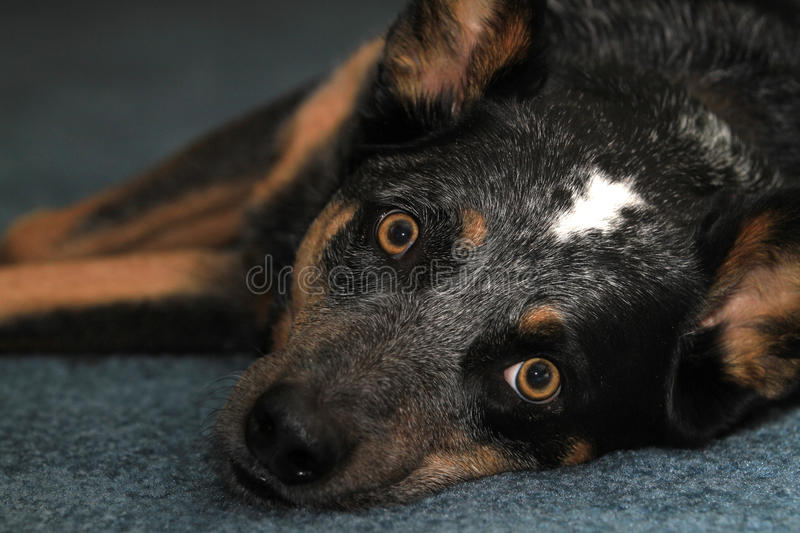Blue heeler dog on carpet. Macro of an Australian Cattle Dog or Blue Heeler laying down on a blue carpet stock photography