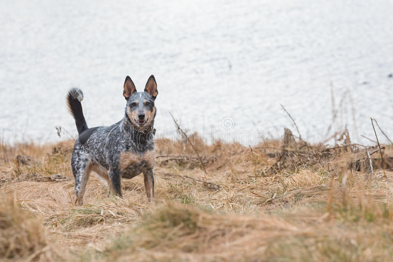 Blue Heeler. Dog playing in a mountain pond in autumn royalty free stock image