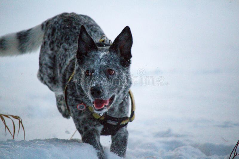 Blue heeler running. Blue heeler jumping and running in a snowy field with harness on stock photos