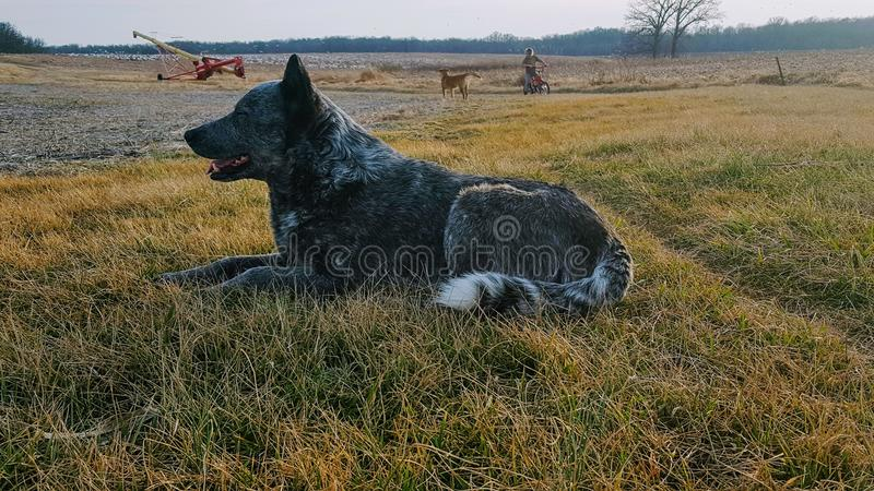 Blue Heeler. Laying in the grass royalty free stock photos