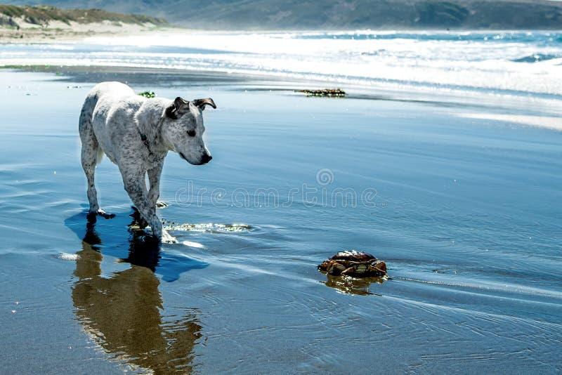 Blue Heeler Mix schaut neugierig auf Krabben am Strand stockfotografie