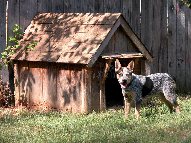 Blue Heeler Outside His Dog House. Blue Heeler standing outside his little wooden doghouse on a hot afternoon stock photos