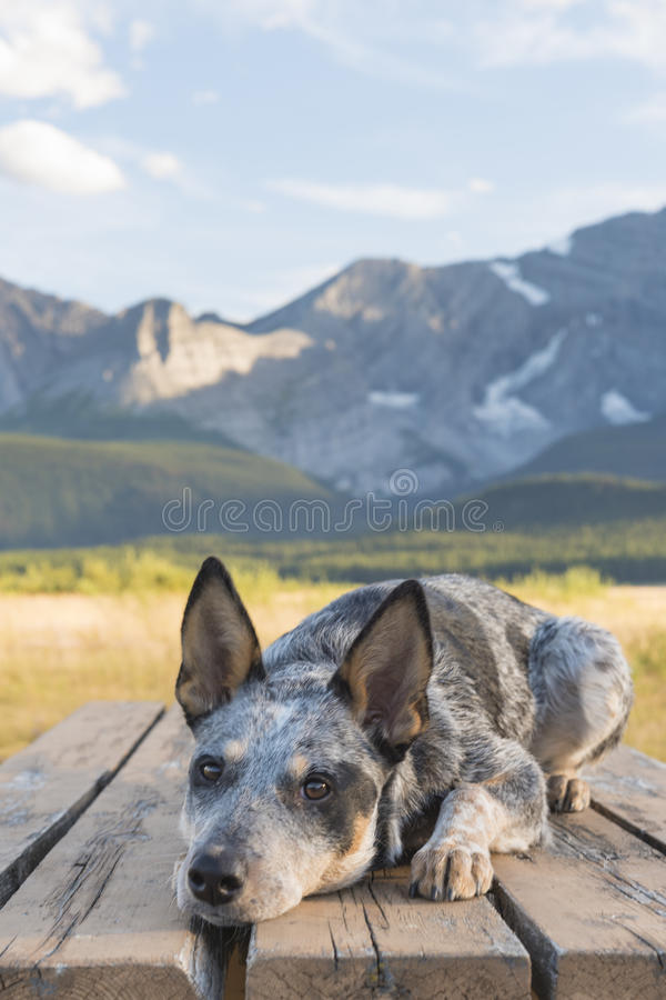 Blue Heeler Puppy. Hiking in beautiful Kananaskis Country Alberta Canada royalty free stock images