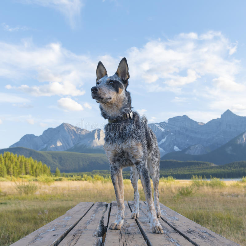 Blue Heeler Puppy. Hiking in beautiful Kananaskis Country Alberta Canada stock image
