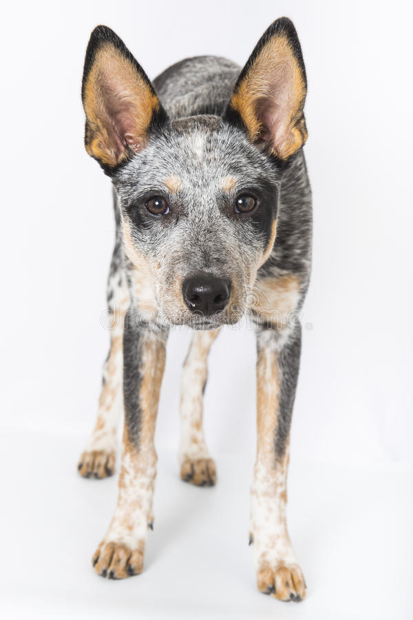 Blue Heeler Puppy. 5 month old Blue Heeler puppy dog isolated on white background royalty free stock photo