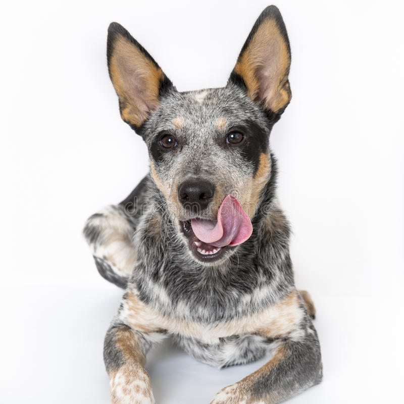 Blue Heeler Puppy. 5 month old Blue Heeler puppy dog isolated on white background royalty free stock photos
