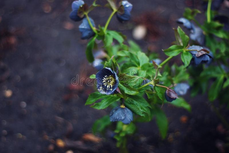 Blue Hellebore in Bloom. Garden Plant in Park. close Up of White Flower. Spring time. Blue Hellebore in Bloom. Garden Plant in Park. close Up of White Flower stock image