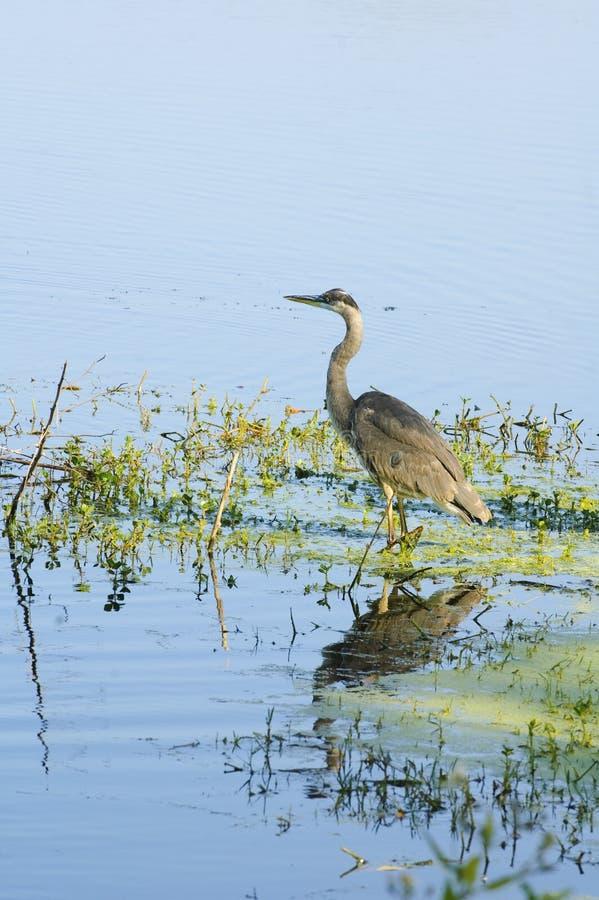 Download Blue heron stock photo. Image of heron, wild, early, ardeidae - 11771860
