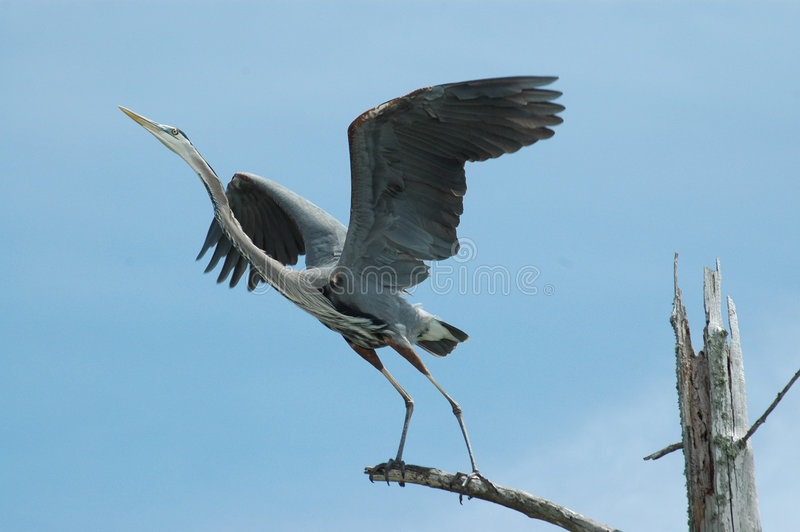 Download Blue Heron stock photo. Image of bird, taking, wildlife - 171308