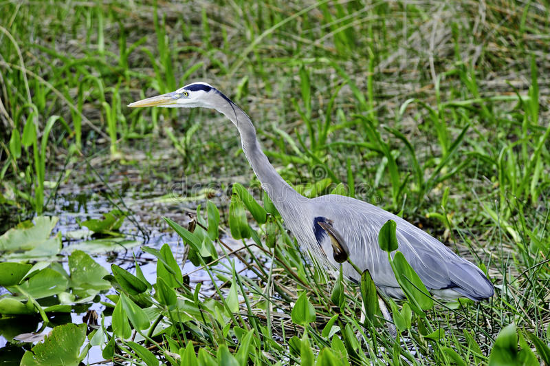 Download Blue Heron stock image. Image of large, watching, great - 19120743