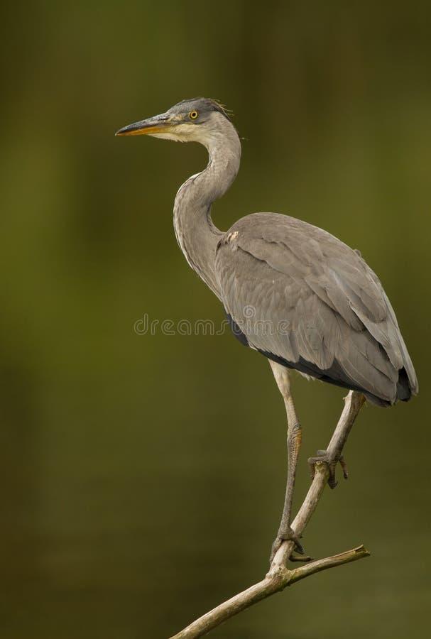 Free Blue Heron Royalty Free Stock Image - 20237596