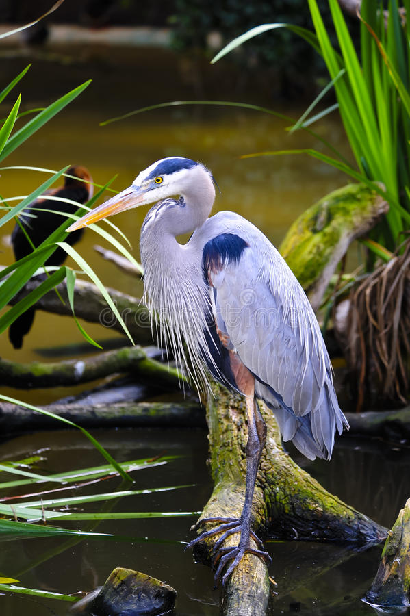 Blue Heron. A blue heron perched on a branch above the water stock image