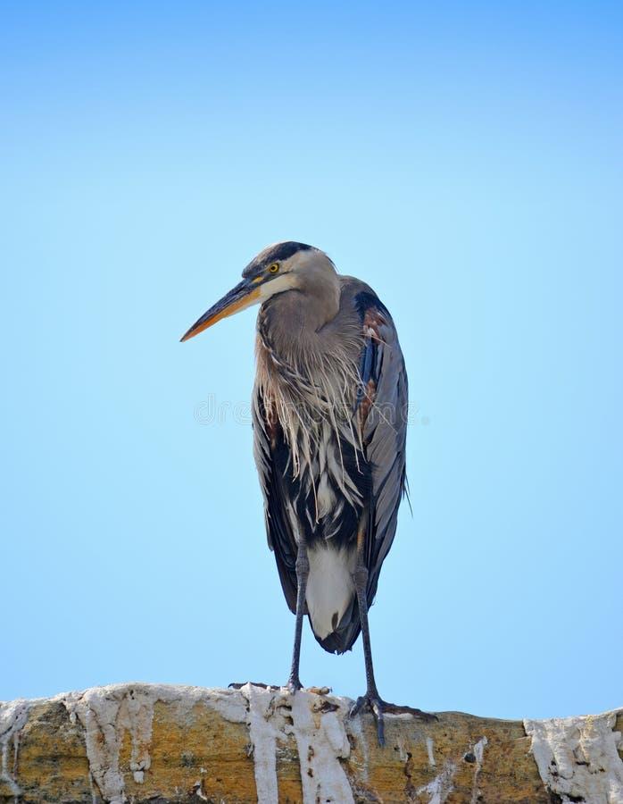 Download Blue Heron stock image. Image of heron, life, flight - 26687233
