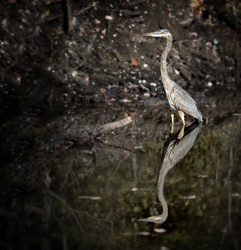 Download Blue Heron stock photo. Image of forest, reflection, pond - 27438332