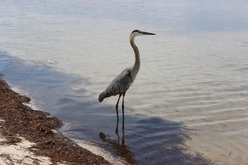 Blue Heron on a beach stock images
