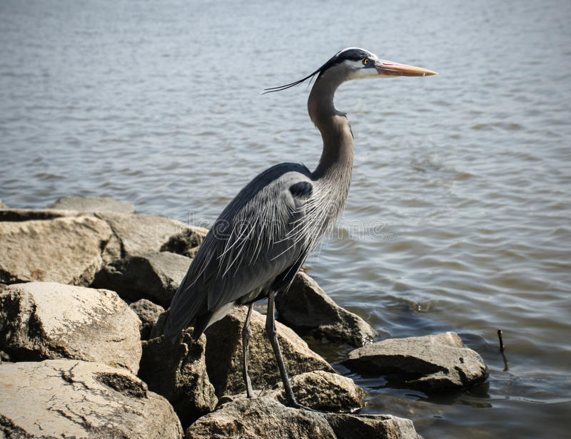 Blue Heron. This beautiful majestic blue heron was definitely ready for a photoshoot. Location: Chestertown, MD stock image