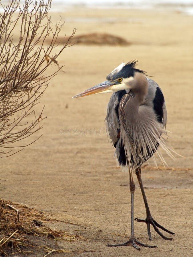 Blue Heron On Dune Free Public Domain Cc0 Image