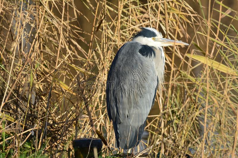 Blue Heron in Abcoude the Netherlands. Blue Heron early in December Location: Gein in Abcoude in the Netherlands royalty free stock photos