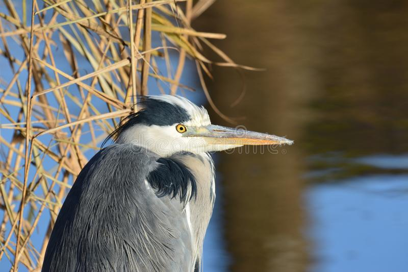 Blue Heron in Abcoude the Netherlands. Blue Heron early in December Location: Gein in Abcoude in the Netherlands royalty free stock photo