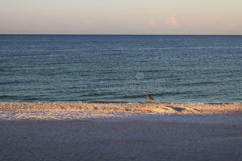 Blue Heron on a beach in Florida stock photo