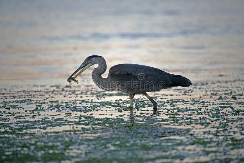 Download Blue Heron fishing stock photo. Image of columbia, pacific - 30363838
