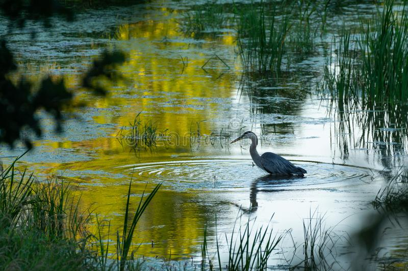 Blue Heron fishing. Among the reeds at the edge of a lake or pond with a curvy reflection on the surface of the water and rings spreading out royalty free stock photo