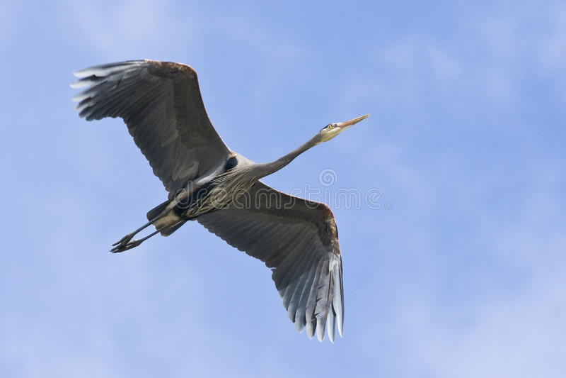 Download Blue Heron In Flight stock photo. Image of great, bird - 18879510