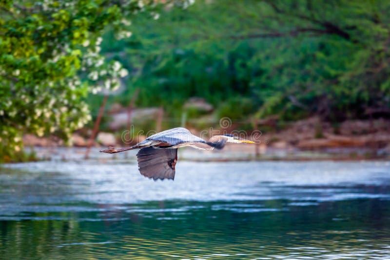 Download Blue Heron in flight stock photo. Image of wings, flight - 36777516