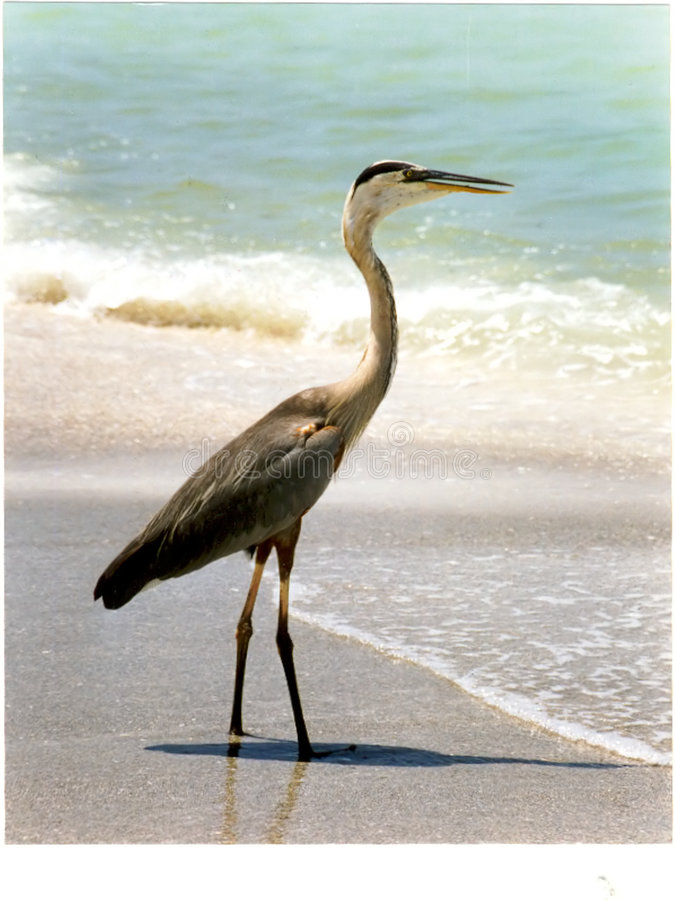 Download Blue Heron On Florida Beach Stock Image - Image of coastline, coastal: 3470797
