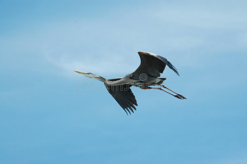 Blue Heron Flying