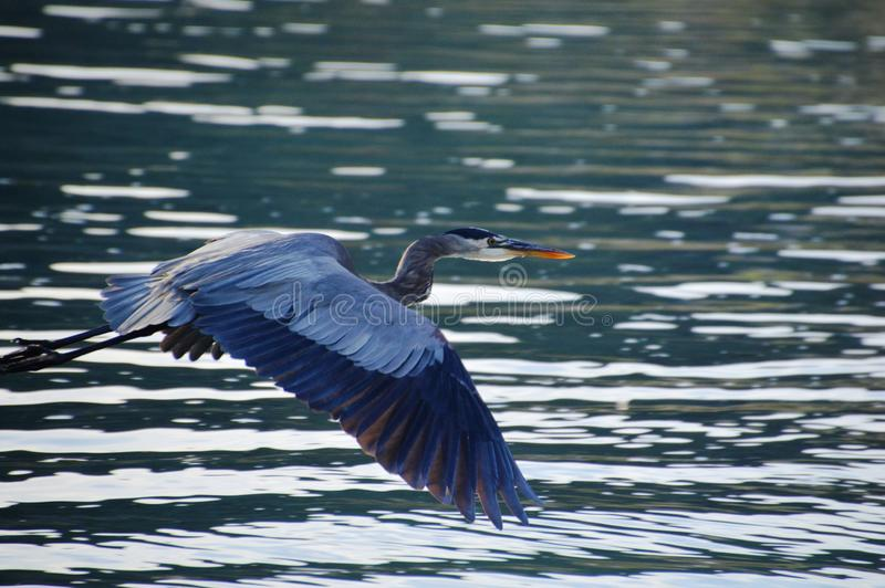 Blue Heron Flying in Baja California del Sur, Mexico royalty free stock image