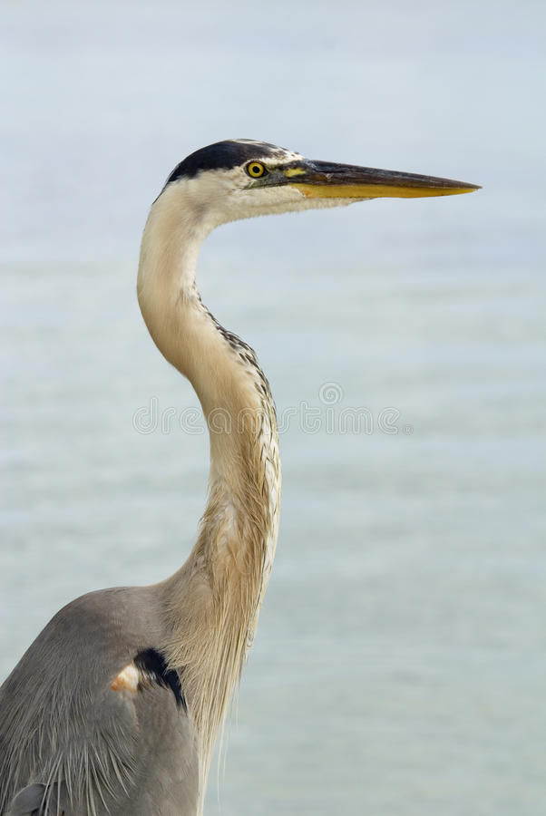Download Blue Heron Half Length Stock Photos - Image: 21794543