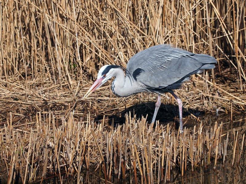 Grey Heron royalty free stock images