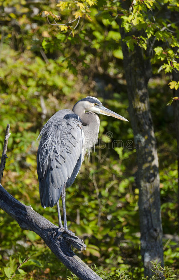 Free Blue Heron On A Branch Royalty Free Stock Photos - 29394238