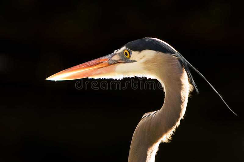 Download Blue Heron Portrait stock image. Image of great, background - 21169915