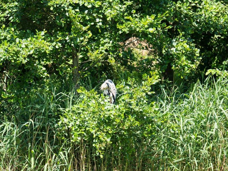 Blue heron preening his feathers in tree stock photos