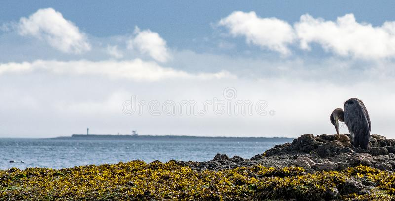 Blue heron on rock. A blue heron on a rock on the seacoast in the Pacific Northwest stock images