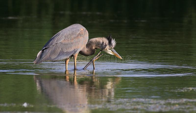 A blue heron is seeking fish. A blue heron is seeking fish in a summer evening. Blue herons are good at catching fish royalty free stock photo