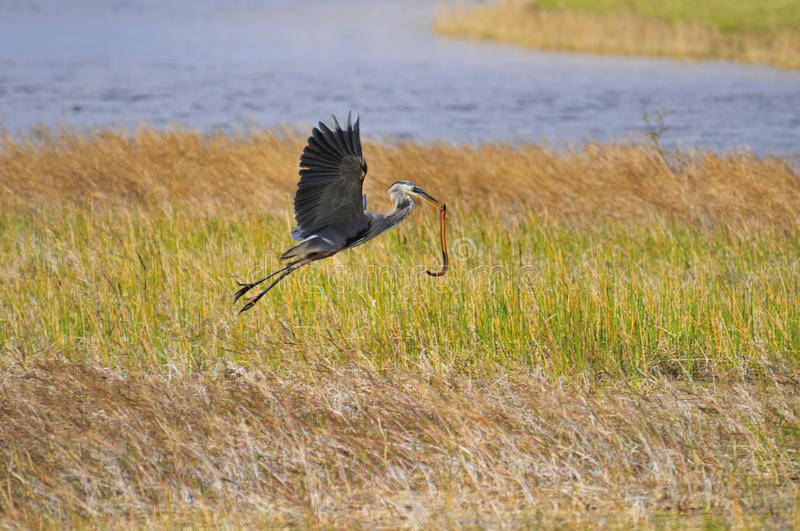 Download Blue Heron With Snake Stock Image - Image: 17578401