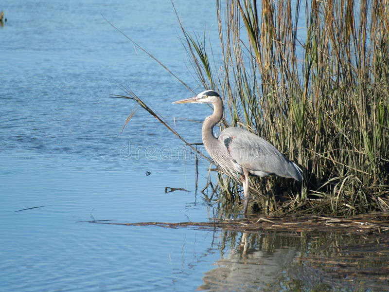 Blue Heron stock images