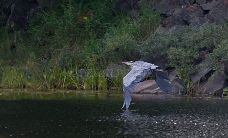 Blue Heron Take-off royalty free stock image