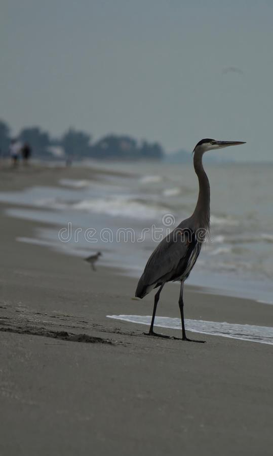 A blue heron in the foreground stands in the morning tide while watching the sun begin to rise over Gulf of Mexico stock images