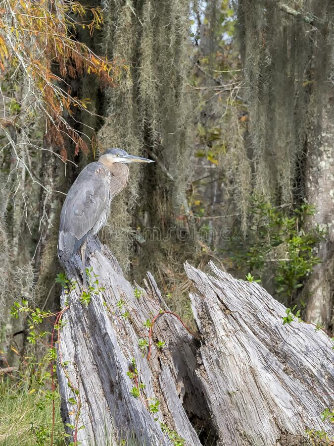 Blue Heron on wood in a Louisiana swamp stock photo