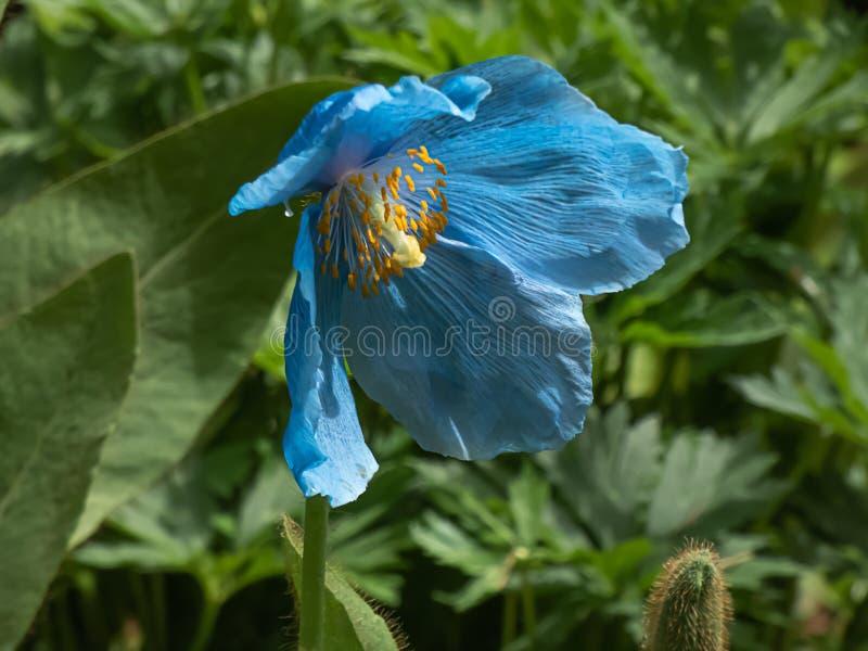 Blue himalayan poppy growing in botanical garden in washington royalty free stock photos