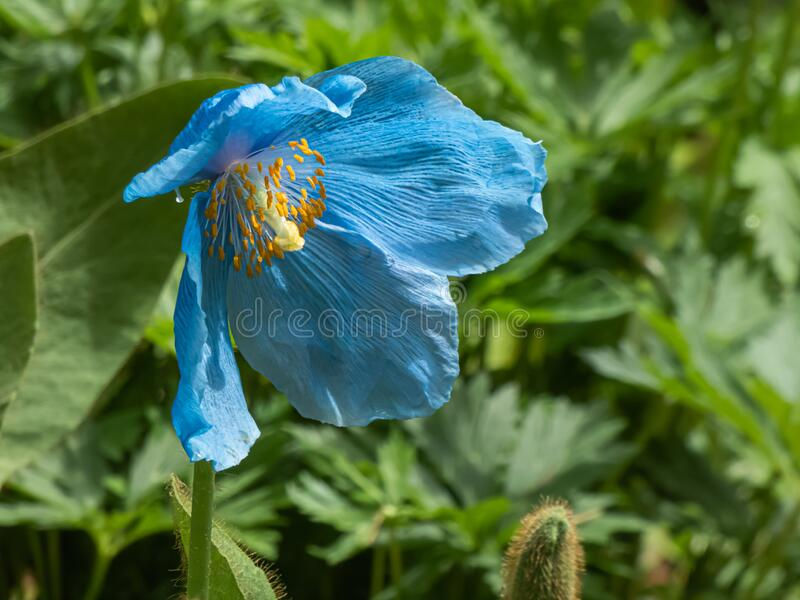 Blue himalayan poppy growing in botanical garden in washington stock photography